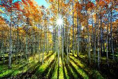 Rainbow Woods, Happy Aspens in the Eastern Sierras, Ca