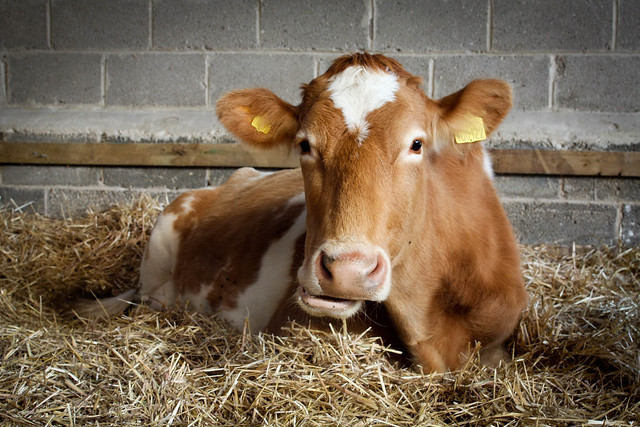 Guernsey Cow | Flickr - Photo Sharing! Bull