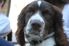 dog breed, animal, dog, boykin spaniel, welsh springer spaniel, pet, mammal, small mã¼nsterlã¤nder, drentse patrijshond, setter, russian spaniel, english cocker spaniel, spaniel, french spaniel, english springer spaniel,