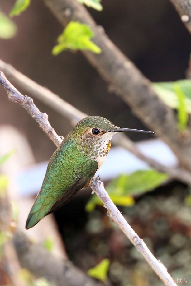 Allen's Hummingbird 112211