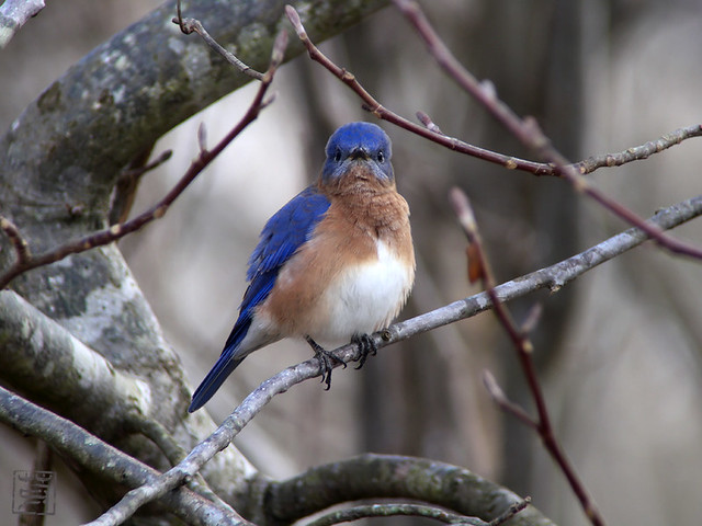 Eastern Bluebird, Nov 2011