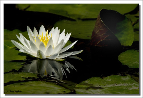Water lily at Big Branch....D700