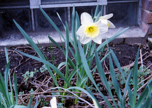 First Bloomed Daffodil