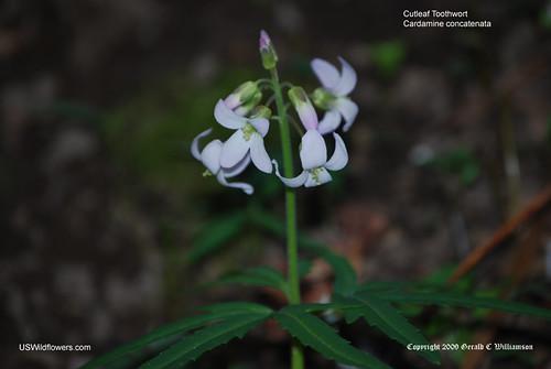 Cutleaf Toothwort - Cardamine concatenata