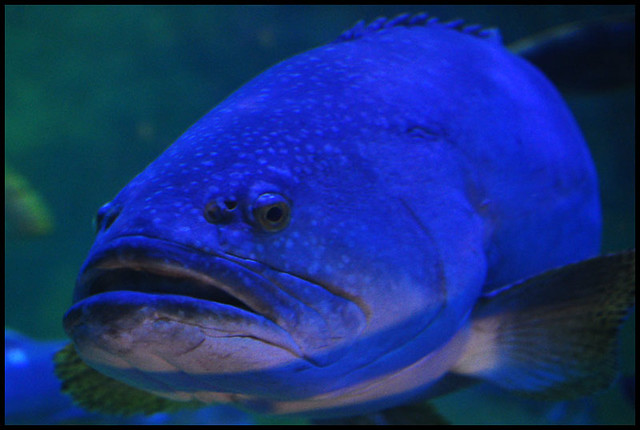 Big mouth fish flickr photo sharing for Big mouth fish
