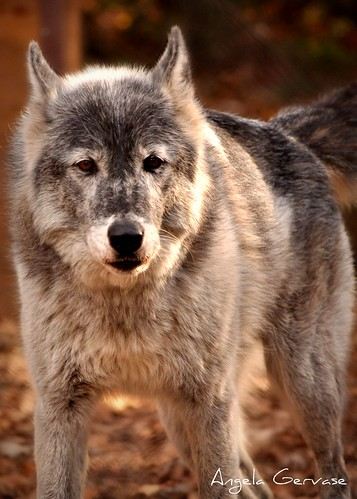 Grey Wolf by A G Photos
