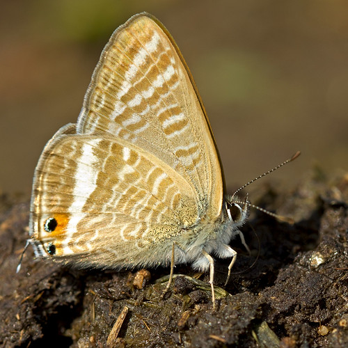 Azuré porte-queue (Lampides boeticus) Long-tailed Blue