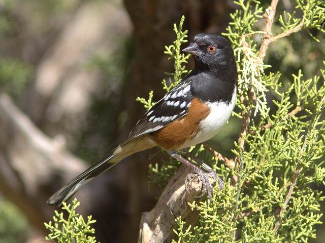Spotted Towhee 20111112