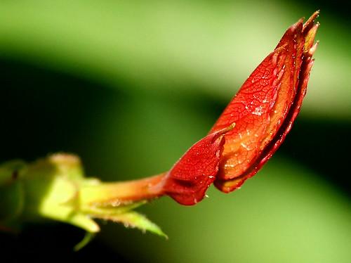 Rose plant leaves by M.Shafiq Chandaiser