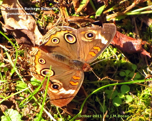 butterflies insects bugs lepidoptera junoniacoenia commonbuckeyebutterfly buckeyebutterfly junoniini