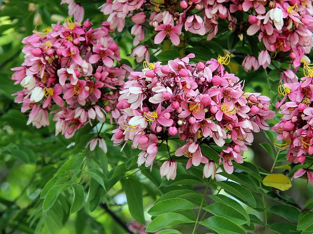 Cassia nodosa (Cassia javanica subsp. nodosa)