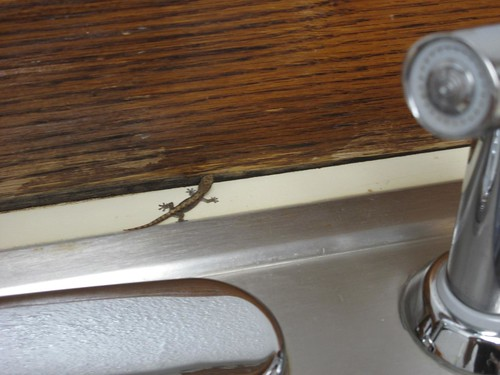 Tiny lizard in our kitchen!