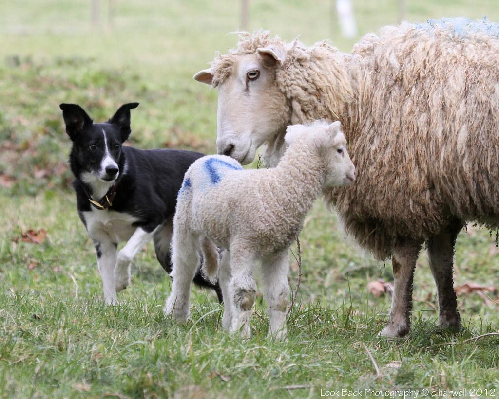 12/52 Beth at Lambing Time