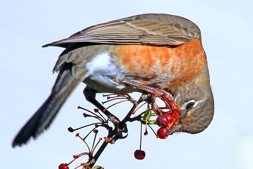 tree bird nature robin berries flock eat americanrobin avian forage turdusmigratorius shelshots
