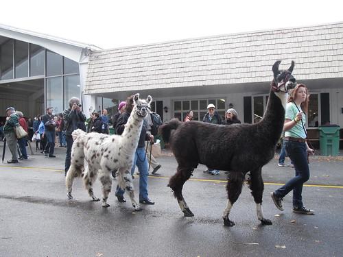 alpaca parade