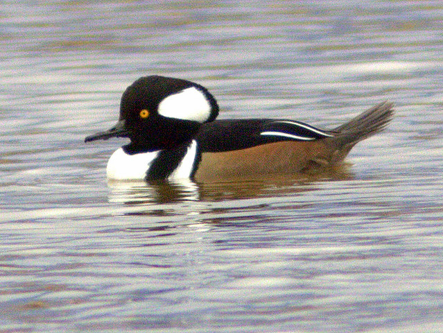 Hooded Merganser 20111113