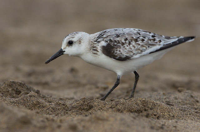 Sanderling uncropped