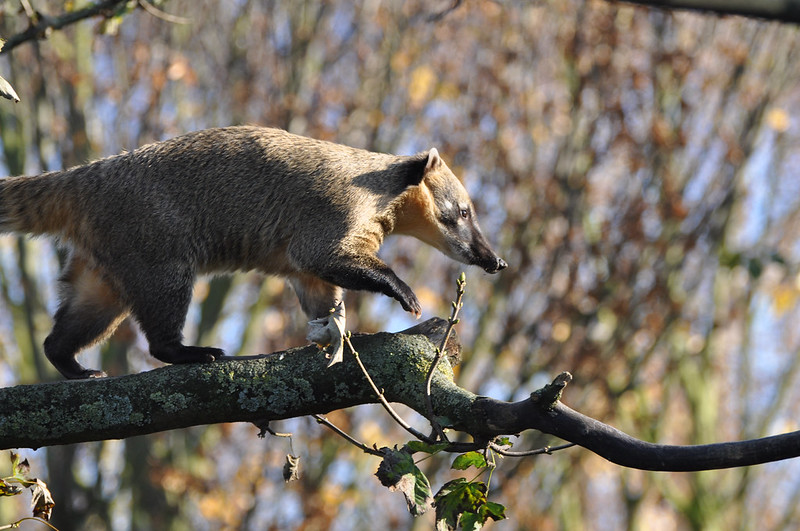Coati on Branch