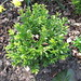 Small photo of Buxus (long leaf)
