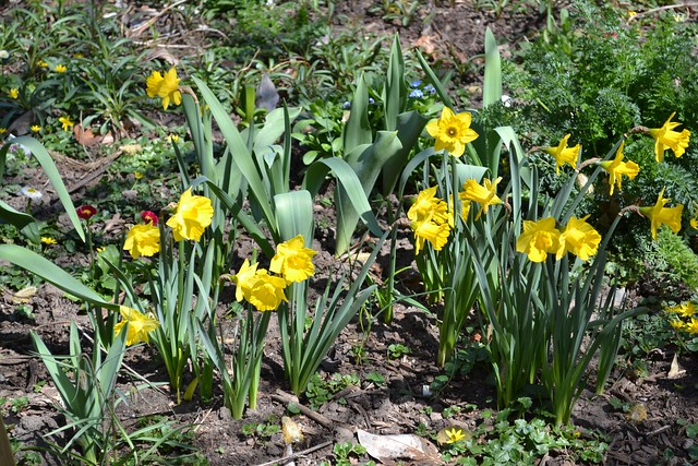 Narcissus obvallaris, an example of a wild (Division 10) daffodil. Photo by Elizabeth Peters.