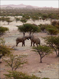 Desert Adapted elephants, Namibia