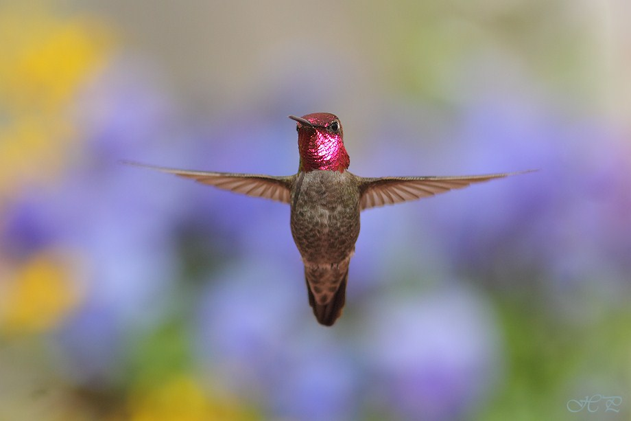 Anna's Hummingbird 032012-5