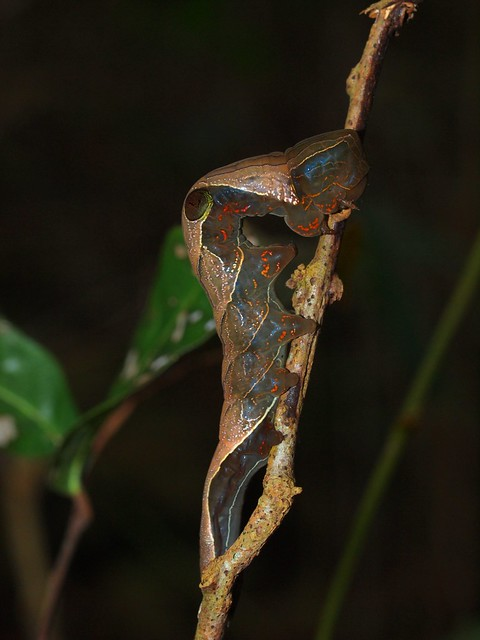 Pink Underwing Moth Southern Subspecies Phyllodes imperialis southern Subsp. (ANIC 3333) larva on Carronia multisepalea Endangered