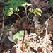 Cimicifuga racemosa-Black cohosh