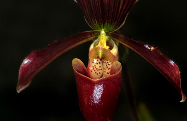 Orquídea Paphiopedilum Vinoso