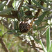 Small photo of Agalenatea redii. Family: Araneidae