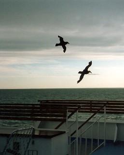 Riesensturmvogel Drake Passage