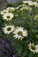 ECHINACEA purpurea 'Virgin'
