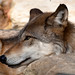 Small photo of Wolf