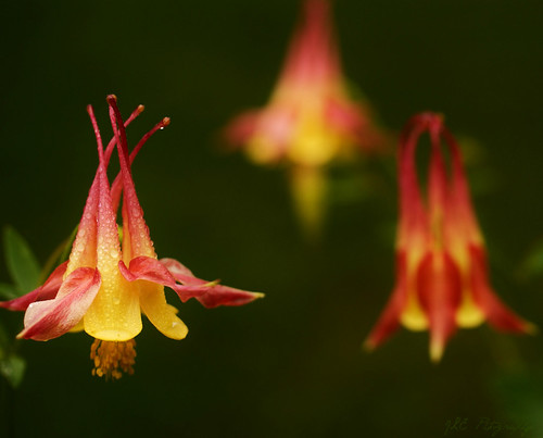 Colorful Columbines