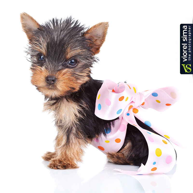 ... free dog sweater patterns for teacup yorkie to download free dog dog