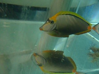 007 Male Blonde Naso Tang (7in body x 3in tail = 10 inch total)