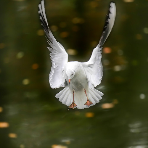 Angel seagull