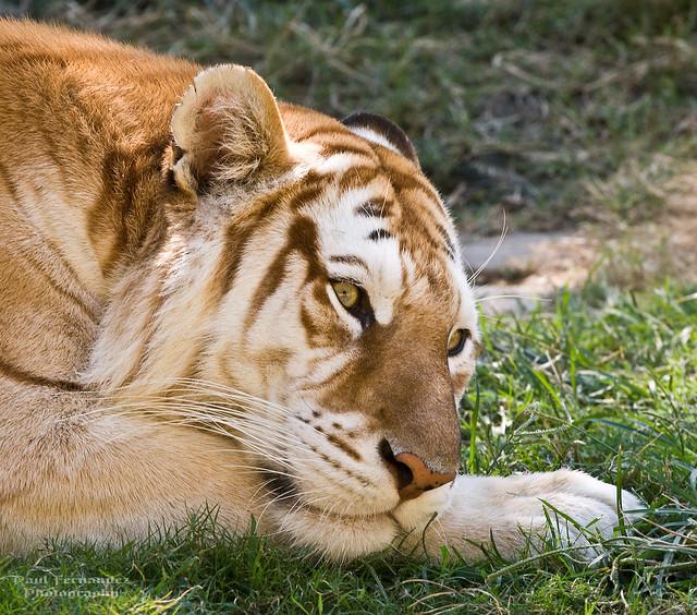 Bengal Tigress Kumari in Familiar Feline Repose at the Memphis Zoo, Tennessee