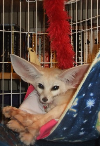 Fennec fox in a hammock