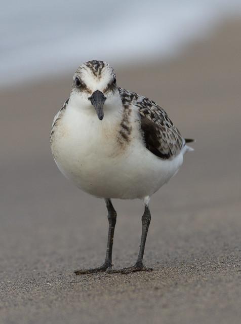 sanderling 8