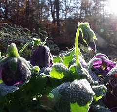 Frost on the Pansies by Teckelcar