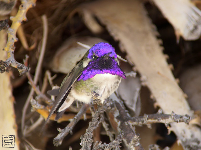 Costa's Hummingbird, AZ, Nov2011