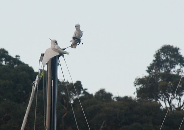 Cockatoos on Warren's mast