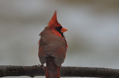 Northern Cardinal DSC_9074 by Mully410 * Images