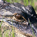 Small photo of Alligator (Alligator mississippiensis)