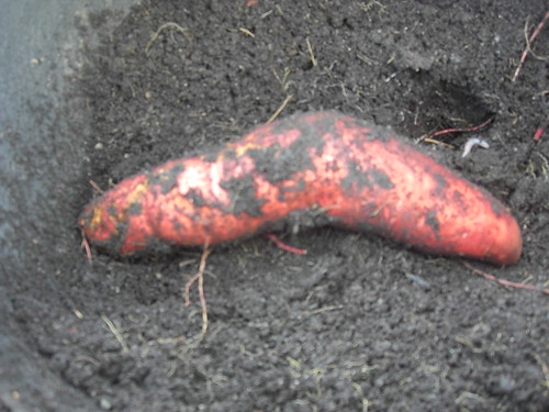 My Harvested Sweet Potato