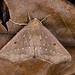 Odontopera albiguttulata - Photo (c) Shipher (士緯) Wu (吳),  זכויות יוצרים חלקיות (CC BY-NC-SA)