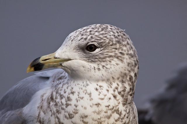 gull6