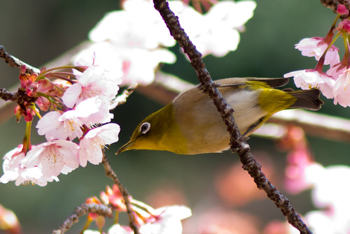 2012 White-eye and Cherry blossoms 19