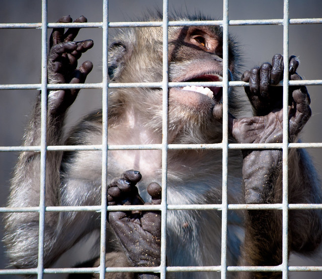 Camarles - Criadero de macacos para experimentación animal